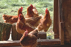 eco-responsable-poules