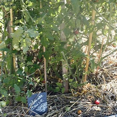 tomates-cerises-potager