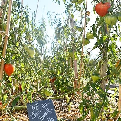 tomates-coeur-de-boeuf-potager-bonnaire